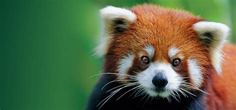 10 Amazing Portraits Of Animals by Pandas And 20 Other Amazing Animals Of Asia