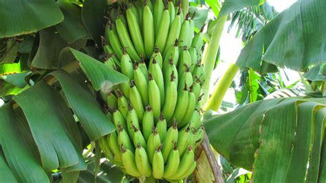 banana plant wallpaper banana tree india fruits