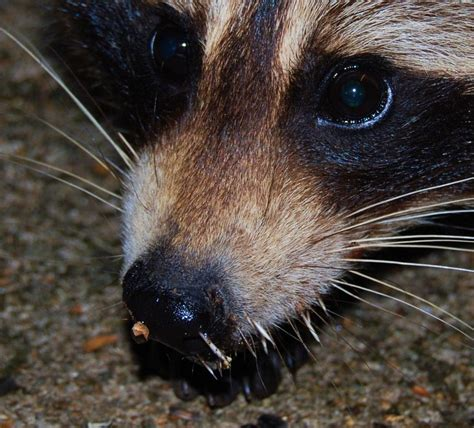 porcupine quills in rocky raccoon with porcupine quills in nose winnipesaukee photopost gallery