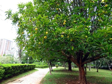 elephant fruit tree elephant apple a tree with stunning flowers snaplant
