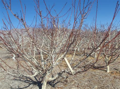 fruit tree limb spreaders xtremehorticulture of the desert use limb spreaders on