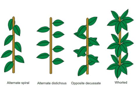 the pattern of leaf arrangement is called everything you need to know about cannabis leaves sensi