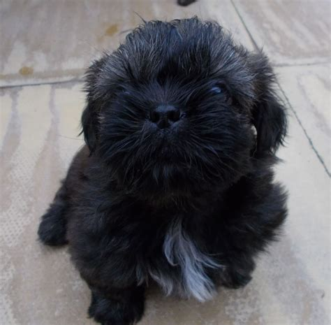 brindle and white shih tzu pedigree black brindle white shih tzu pups dudley west midlands pets4homes