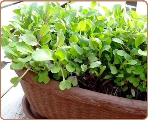 container gardening vegetables  herbs plant varieties