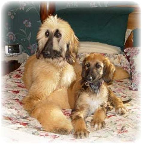 akc afghan hound puppies for sale afghan hound puppies breeders hounds