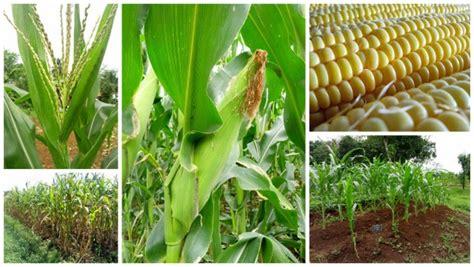 Jual Bibit Tanaman Jagung Budidaya Jagung Manis Jual Bibit Sayuran Merdeka Tani