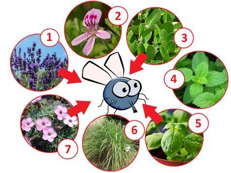 Garten Pflanzen Gegen Fliegen pflanzen gegen fliegen