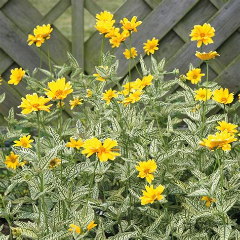 sun foliage plants heliopsis winter sun plants from mr fothergill s seeds and
