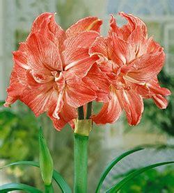 Jumbo Blooming by Bloomingbulb Jumbo Amaryllis