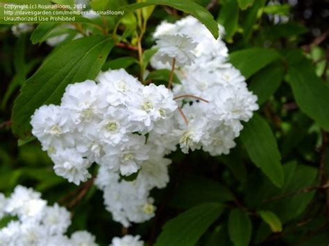 shrub with white flowers identification plant identification closed white flowering shrub id 5