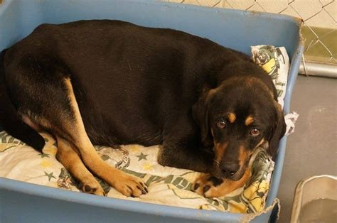 how many puppies can a rottweiler give birth to daily dogs archives page 26 of 45 gapunditgapundit page 26