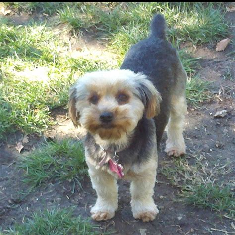 teddy bear yorkie cut yorkie with a teddy bear haircut zoey puppy pinterest
