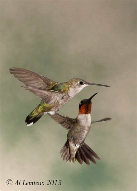 mating habits of hummingbirds the 25 best ruby throated hummingbird ideas on humming image hummingbird and