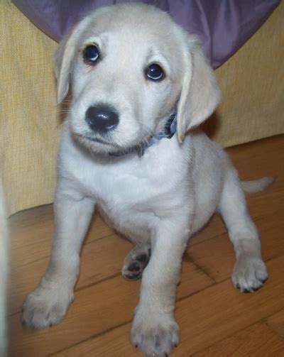 goldendoodle puppy phases sold sugars purple ribbon 1st generation