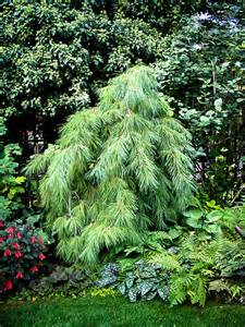 Most Beautiful Flowering Shrubs - white weeping pine the tree center