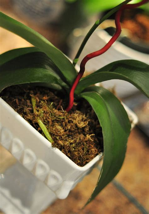 how to replant repot and regrow orchids love maegan