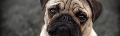 health problems of pugs pugs given up to battersea health issues has doubled