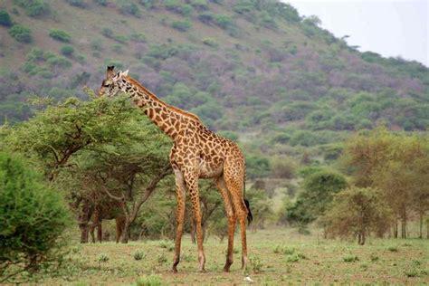 Imagenes De Jirafas Comiendo Hojas | 191 qu 233 comen las jirafas respuestas tips
