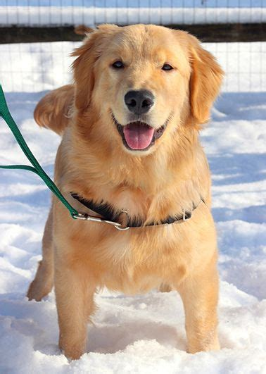 golden retriever puppies ohio rescue 1000 ideas about golden retrievers for adoption on retriever puppies