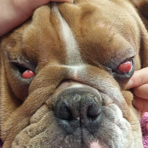 cherry eye lien animal clinic