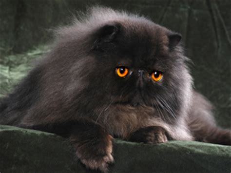 gatti persiani grigi i colori dei gatti persiani gattipersiani it gatti