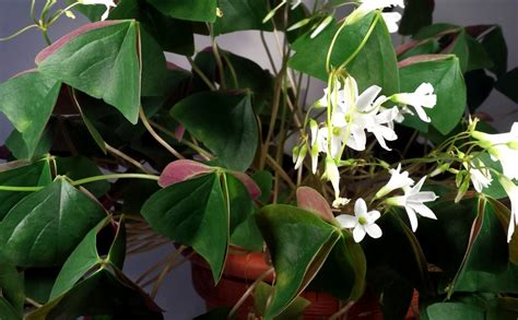 lucky shamrock care and propagation hubpages