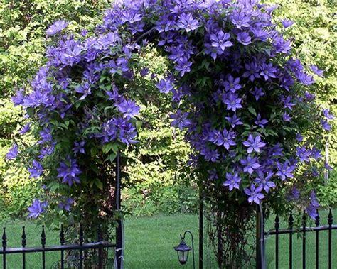 climbing plants for trellis pergola plants gardening forums