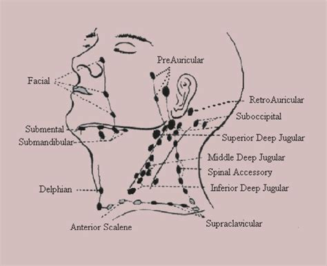 neck lymph node locations diagram anterior cervical lymph nodes cervical lymph nodes anatomy