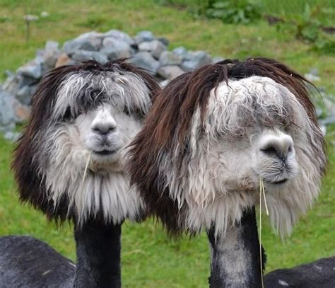 shaved alpacas   viewing pleasure