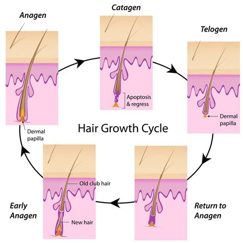 hair follicles in older women narrowing what causes gray hair