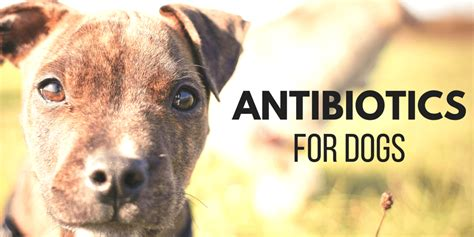 antiseptic for dogs antibiotics for dogs amoxicillin penicillin and probiotics