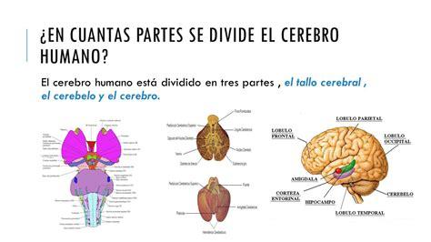 imagenes de el cerebro humano partes y funcionamiento del cerebro humano ppt video