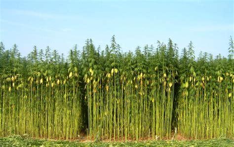 canapé vente privée la differenza tra canapa e marijuana spiegata in modo