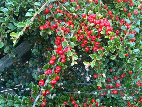 bushes with red berries poisonous
