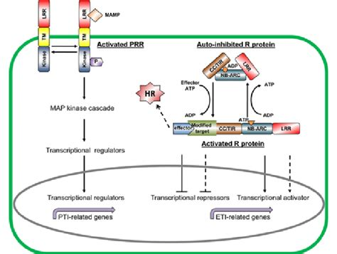 pattern recognition receptors and signaling in plant microbe interactions fig 1 schematic view of the pti and eti in plants