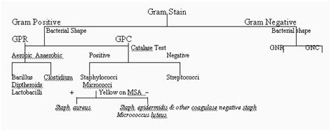 dichotomous key flowchart of unknown bacteria flow chart identifying school