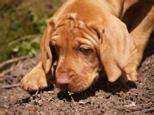 how much are vizsla puppies puppies and stud dogs hungarian vizsla society