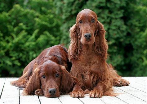 setter dog traits irish red and white setter dog breed information pictures