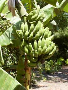 the banana fruit myths facts and health benefits