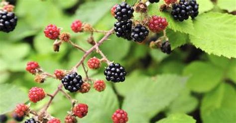 top 28 what can i make with fresh blackberries blackberries kitchen basics harvest to table