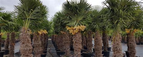 garten palmen winterharte palmen