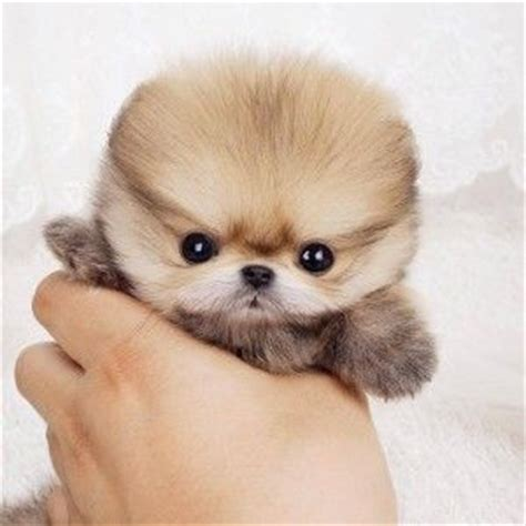 pomeranian boo for sale teacup pomeranian for sale cuter than boo teacup breeder posh pocket pups