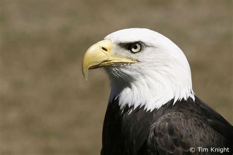 Burung Elang 3d wallpaper collections bald eagle backgrounds