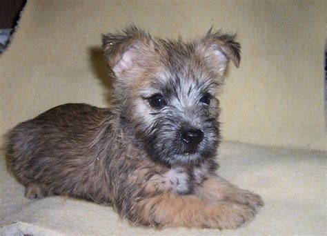 brindle cairn haircut 25 best ideas about terrier puppies on pinterest westie