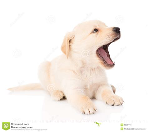 puppy on yawning golden retriever puppy on white background stock photo image 55537718