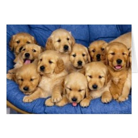 a bunch of puppies bunch of retriever puppies card zazzle