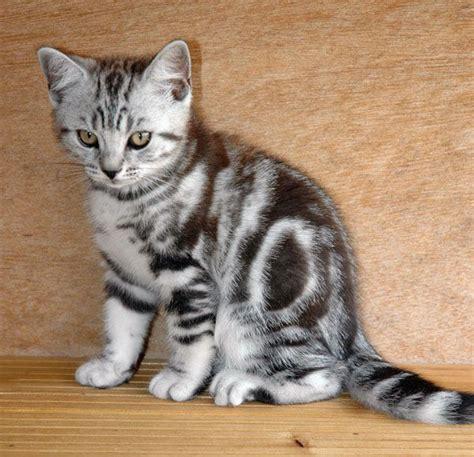Silver Tabby Male Kitten.   Bishops Stortford