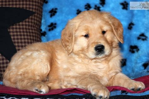 golden retriever original breed golden retriever breeders 57 the wallpaper best the uncategorized animal