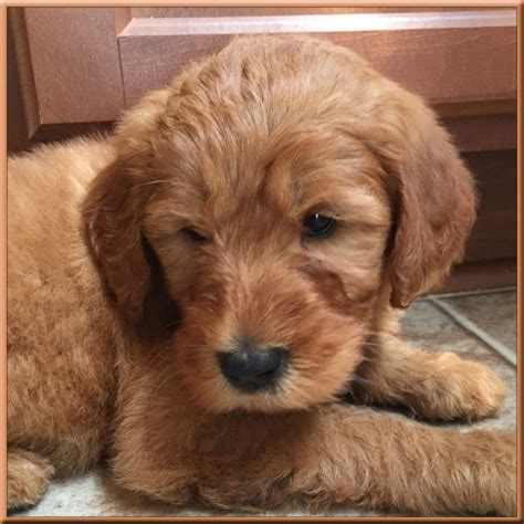 mini doodle nc standard goldendoodle puppies www pixshark images