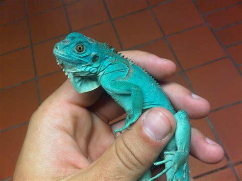 Jual Iguana Baby Kaskus hewan terlangka2016 iguana blue images